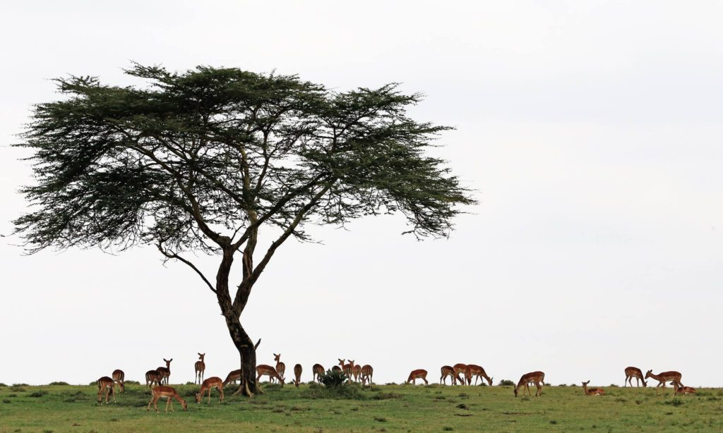 impala and acacia tree, kenya