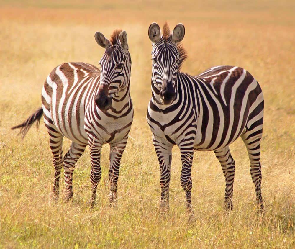 13--Zebras