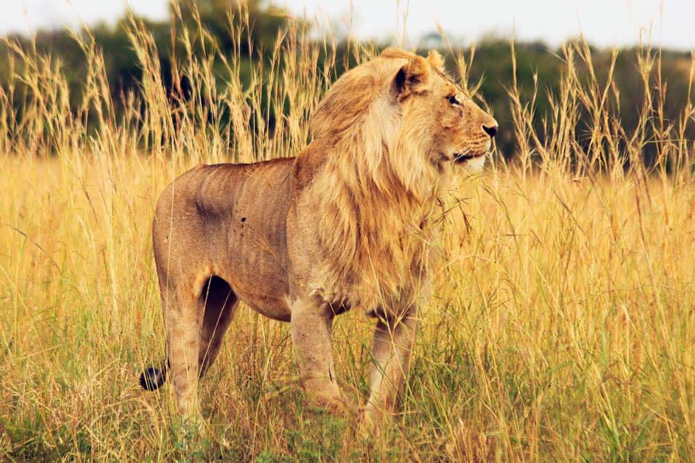 17--African Lion