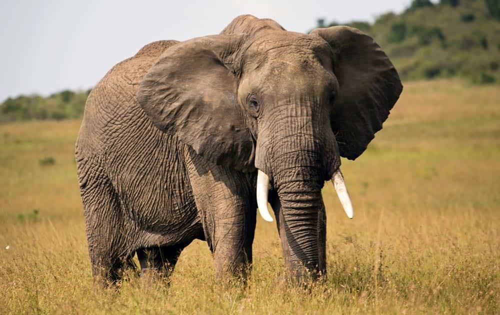 32--Kenya Elephant