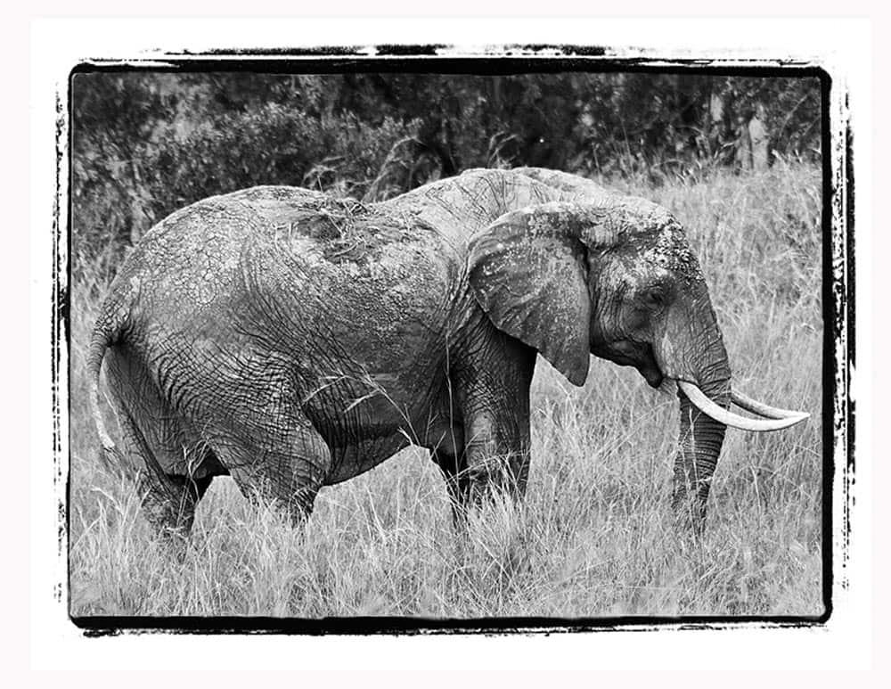 33-B & W Muddy Elephant