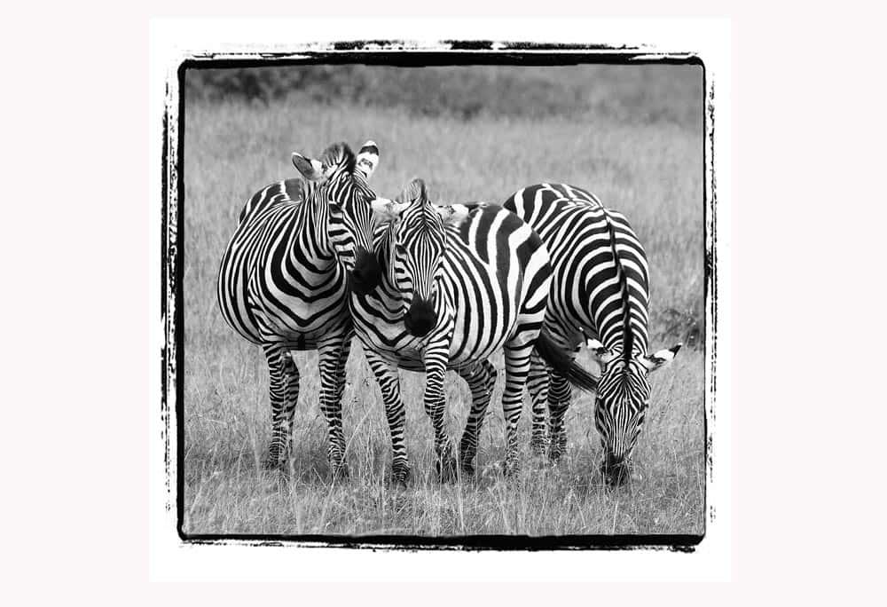 34--B & W Zebras