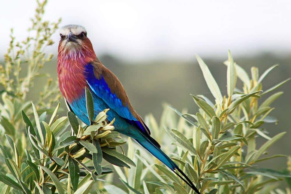 44-Lilac-breasted Roller