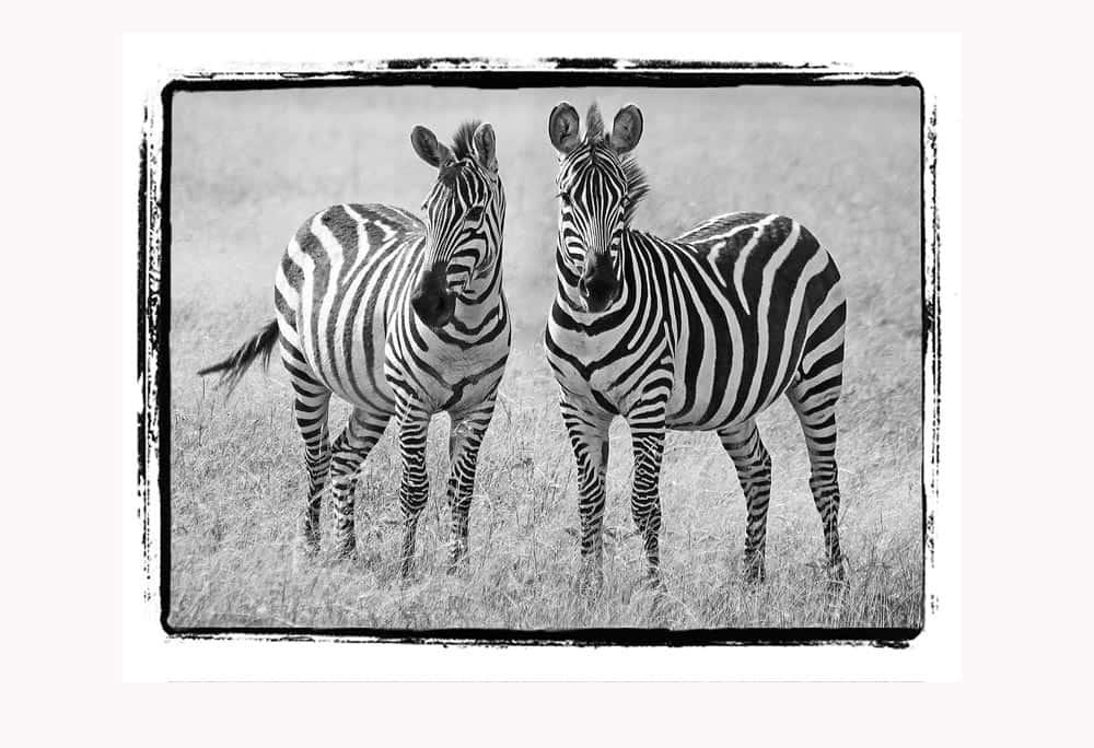 53--B & W Zebra Pair