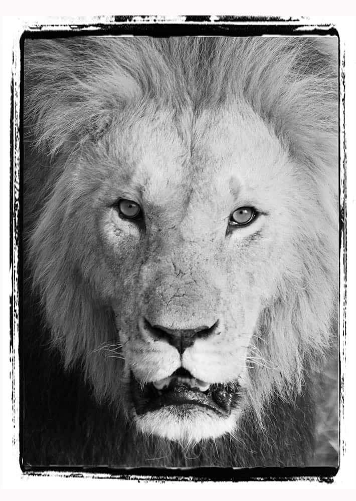 55--B & W Lion's Approach